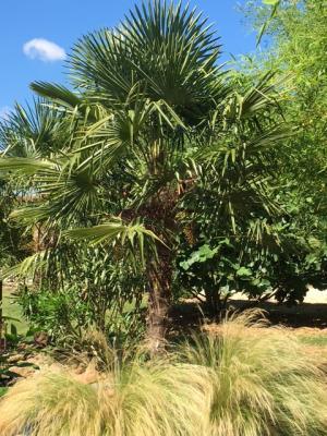 Les palmiers du domaine de basse Chancelée
