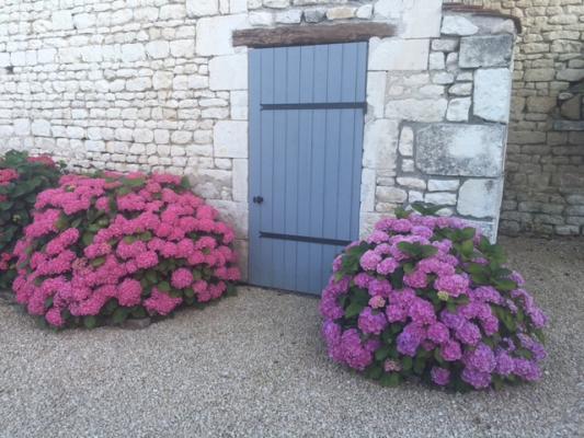 La floraison des hortensias